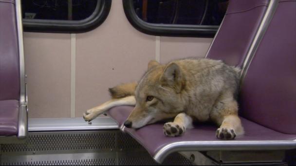 Coyotes-608x341
